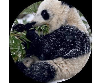 На запаску панда бамбук