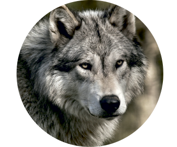 На запаску волк 3