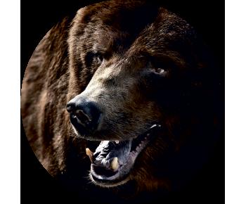 На запасное колесо медведь