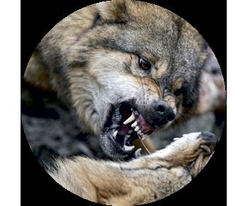 На запаску волк оскал 2