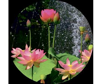 На запаску водяная лилия