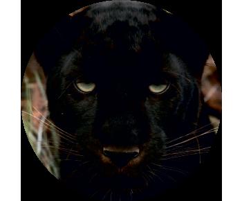 На запасное колесо пантера 2