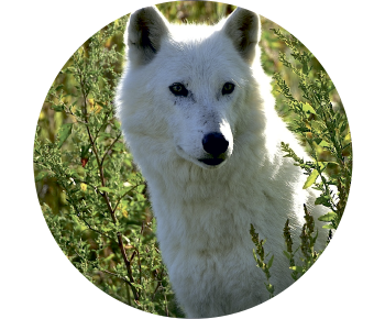На запасное колесо волк белый