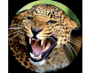 На запаску леопард
