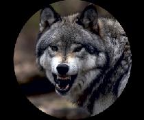 На запаску волк оскал