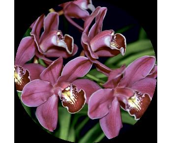 На запаску орхидеи