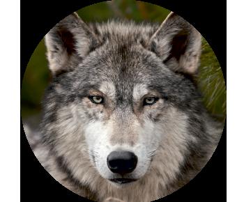 На запаску волк 5