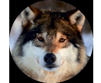 На запасное колесо волк 2